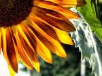 001_FTF_194RustSunflower